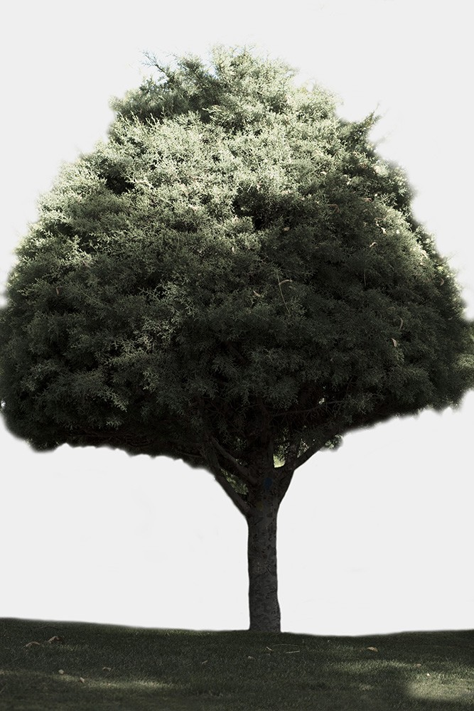 Photo of a pine tree